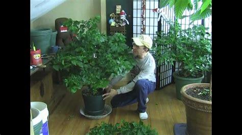 final tip  super strong huge pepper plants youtube