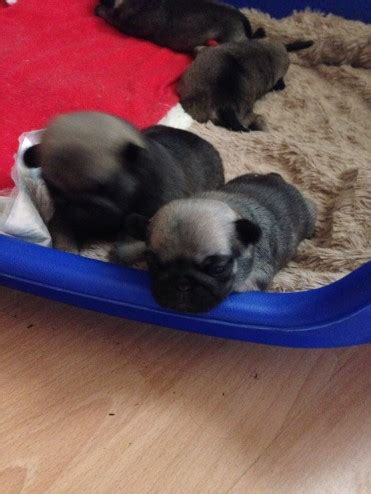 pug puppies for sale glasgow faun pug puppies for sale glasgow lanarkshire pets4homes