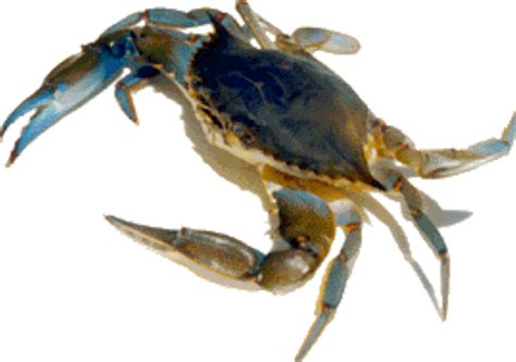 27 best images about blue crabs on pinterest crabs soft shell blue crab creole is who quot we quot are pinterest