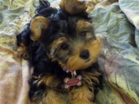 how to a yorkie not to bark my yorkie puppy cookie barking