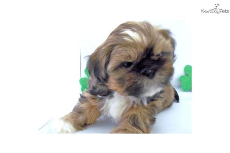 shih tzu puppies tennessee shih tzu for sale for 300 near knoxville tennessee 5a08a338 da91