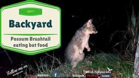possum backyard backyard possum brush tail male eating bat food banana