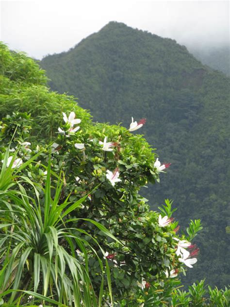 22014 White Sweet Flower Sml revisiting the manoa cliffs forest restoration project hawaiian forest