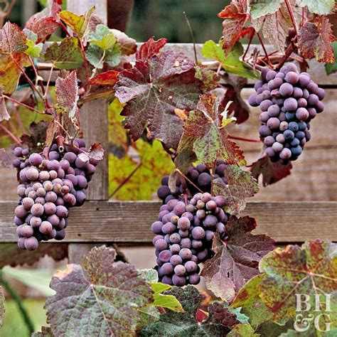 how to grow grapes in your backyard spectacular winter deals on nutbutters fruit spreads
