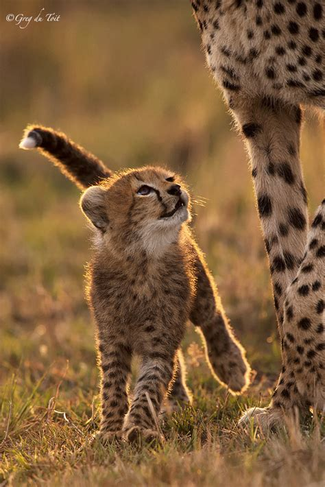 cheetah and best 25 cheetahs ideas on cheetah baby