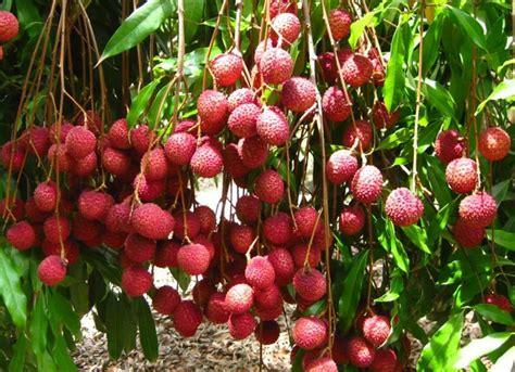 Bibit Buah Naga Mini jual bibit tanaman buah leci kom lychee di lapak hgs