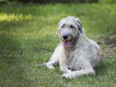 irish wolfhound pictures wallpapers9