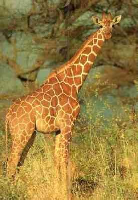 cadena alimenticia jirafa jirafa