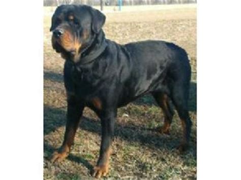 miniature rottweiler for sale miniature rottweiler puppies for sale indiana photo