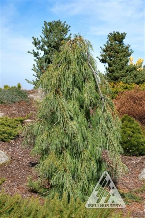 102 best images about weeping trees on pinterest rocks prunus and weeping trees