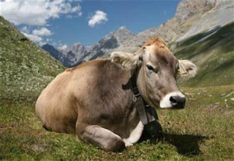 cote de texas male vs female it s a size thing ricerca cinese mucche con gene umano produrranno il latte