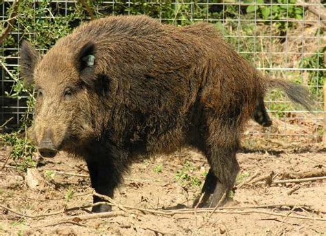how to your to hunt hogs stand location for hog