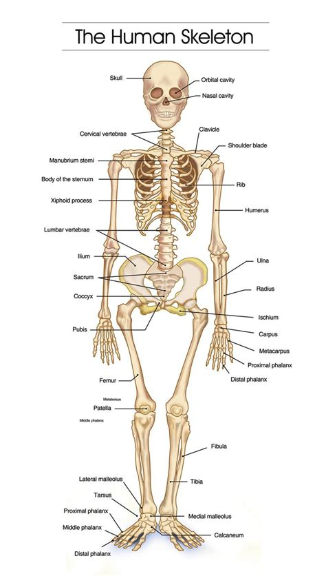 all the names of the bones in your body 1000 ideas about