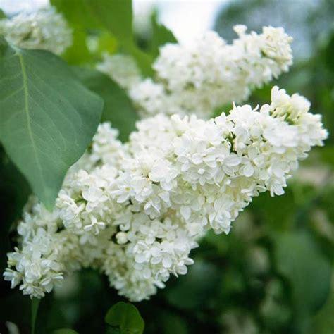 best 25 flowering shrubs ideas on pinterest rose bush white flowering shrubs and snowball