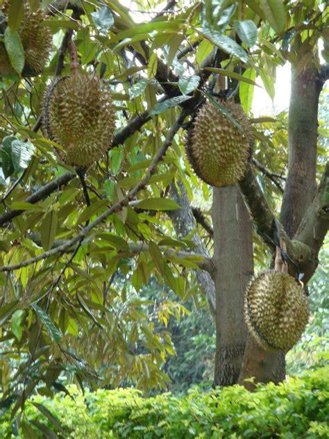 Bibit Buah Durian Montong jual bibit durian montong thailand bibit durian unggul