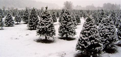 fullner christmas tree farm u cut pre cut trees and