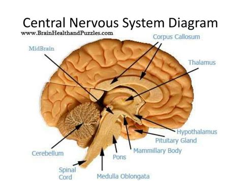 central nervous system diagram ppt nervous system introduction powerpoint