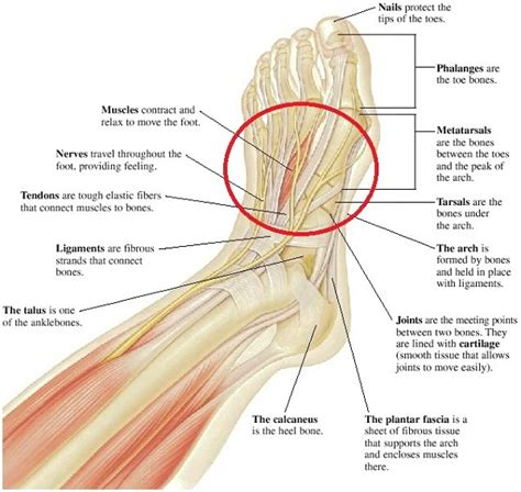 diagram of the foot bones printable diagrams of the foot diagram site
