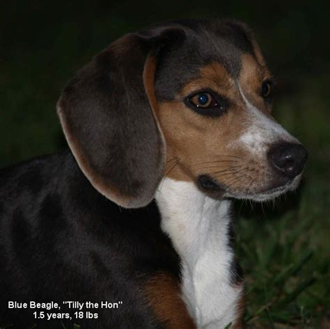 beagle colors colors unique beagle colors khaki mocha lilac and silver