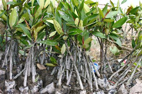 Bibit Mangrove penyelundupan ratusan batang kayu bakau digagalkan