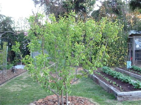 2 fruit trees in one forum 2 trees in one