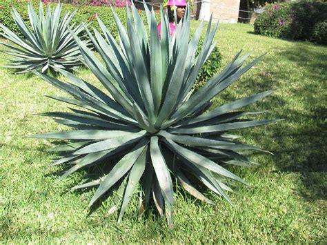 blue agave plant tequila factory sineloa mexico mazatlan mexico familiarization trip
