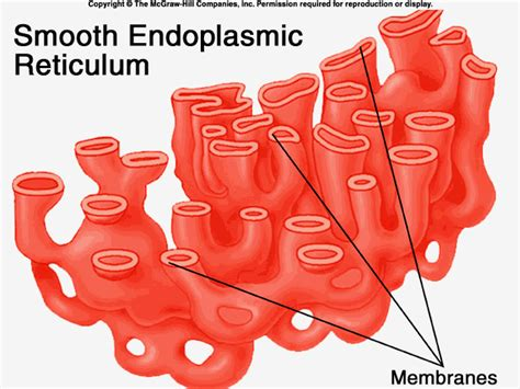 Smooth Endoplasmic Carcinogenic Detox by Smooth Endoplasmic Reticulum Some Of Its Functions