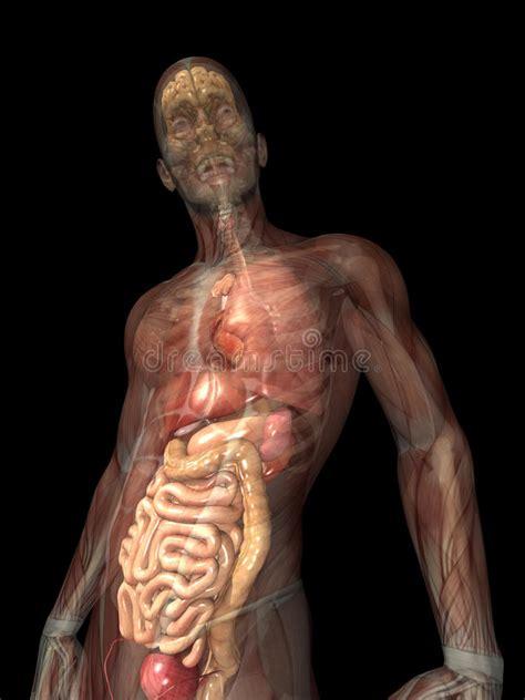 foto organi interni raggi x di scheletro organi interni fotografie stock