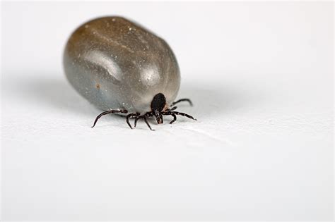 tick diseases effectiveness of tick in greenville greenville tick mosquito