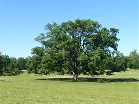 oak tree rubber st image gallery quercus suber