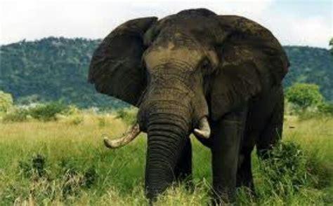 Elephant Tosca animals thailand thailand