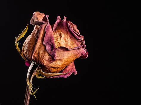 imagenes de rosas marchitas experimento khamy del morir y el pervivir de los partidos