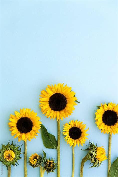 sunflowers   blue background  ruth black  stocksy