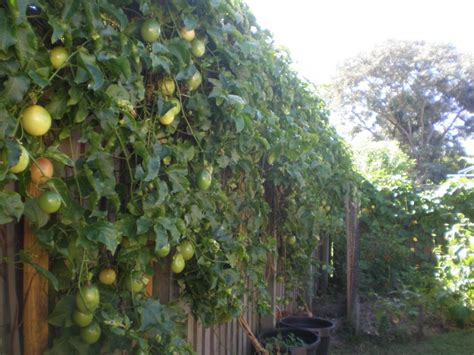 1000 images about passion fruit fence on pinterest