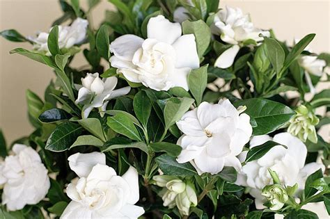 grow  care  gardenia plants
