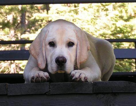labrador puppies orlando florida yellow lab puppies orlando florida puppy