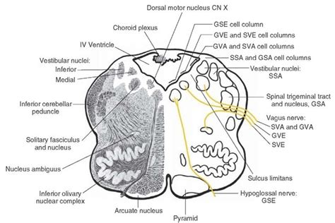 brainstem sections the cranial nerves organization of the central nervous