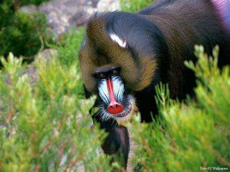 ape wild animals wallpaper  fanpop