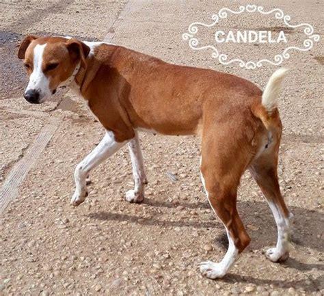 candela chion candela chien 224 adopter dans la r 233 gion ile de