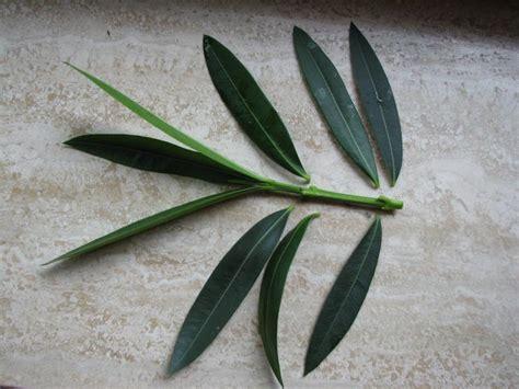 Oleander Vermehren by Ca 10 Cm Lange Triebspitze Ohne Bl 252 Tenknospen Knapp
