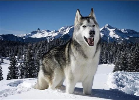 wolf looking dogs 17 breeds list that look like wolves wolf dogs zoopedia