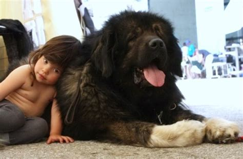 ovcharka puppies for sale in usa caucasian shepherd for sale russian