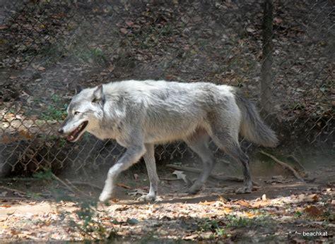 wolf at noah s ark animal rescue locust grove ga flickr