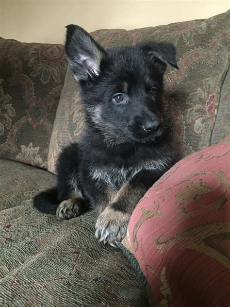 trained german shepherd puppies buy trained german shepherd puppies march 2018 availability