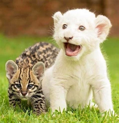 what do you call a baby jaguar baby white and jaguar white lions