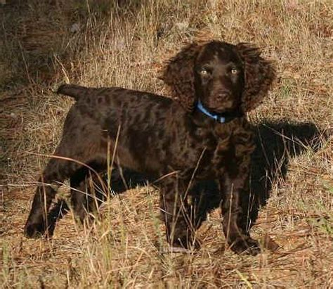 Boykin Spaniel Dog Breeders Profiles and Pictures | Dog ...