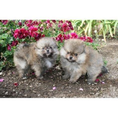 pomeranian puppies san diego divapoms pomeranian breeder in san diego california