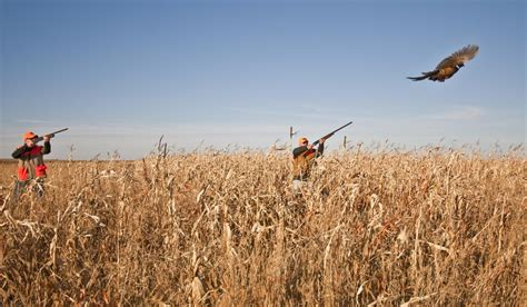 how to a to pheasant hunt pheasant south dakota places to see what to see