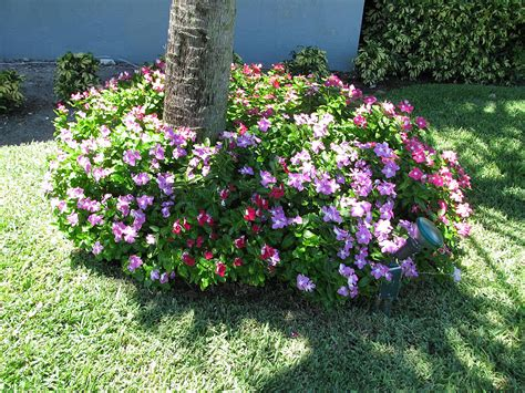 Houseplant For Low Light by Plants Amp Flowers 187 Catharanthus Roseus