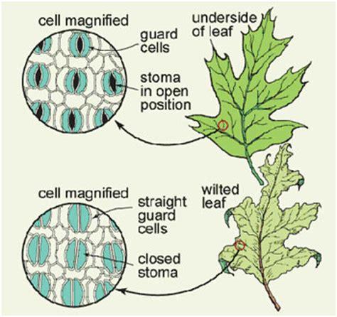 stomata diagram plant stomata stomata plant